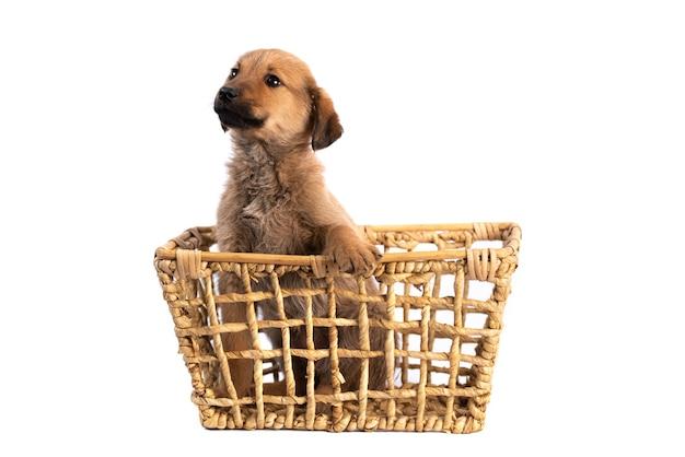 Filhote de cachorro marrom na cesta isolado no fundo branco