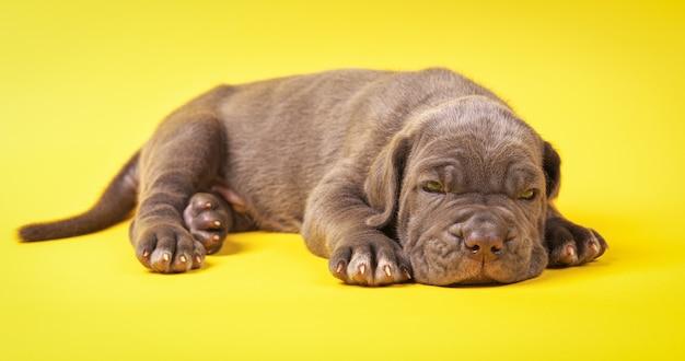 Filhote de cachorro mastim italiano cana-de-corso deitado sobre fundo amarelo