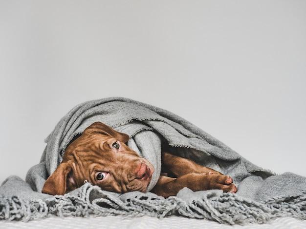 Filhote de cachorro novo, envolvido em um lenço cinzento