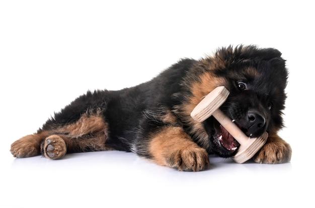 Filhote de cachorro pastor alemão na frente de um fundo branco