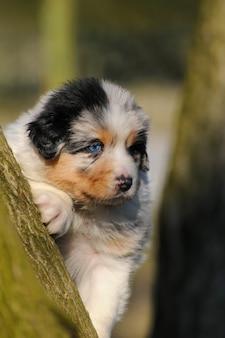 Filhote de cachorro pastor australiano no prado