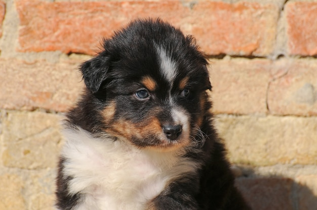 Filhote de cachorro pastor australiano