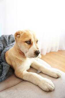 Filhote de cachorro pastor da ásia central coberto com um cobertor no sofá