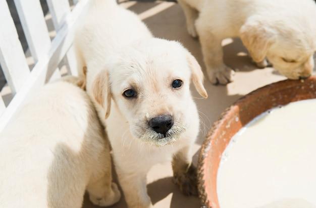Filhote de cachorro pequeno adorável do golden retriever