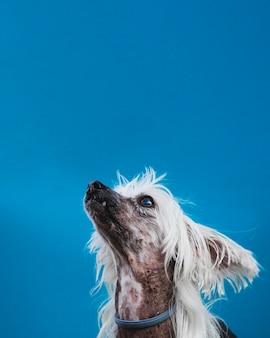 Filhote de cachorro pequeno, com longos cabelos brancos, olhando para cima