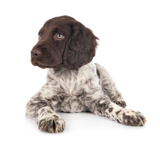 Filhote de cachorro pequeno munsterlander