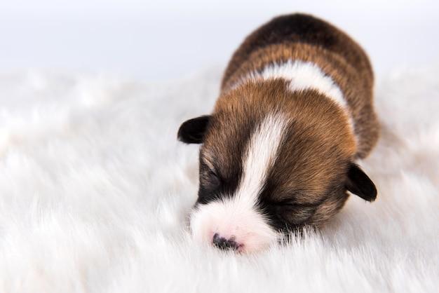 Filhote de cachorro pequeno pembroke welsh corgi