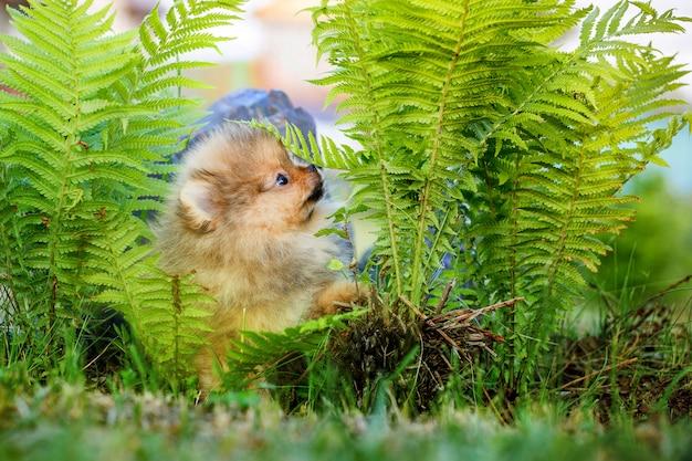 Filhote de cachorro pomeranian bonito em uma caminhada com samambaia