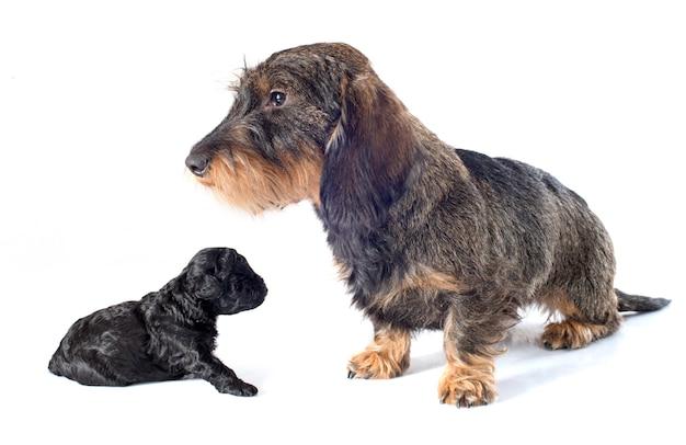 Filhote de cachorro poodle e dachshund