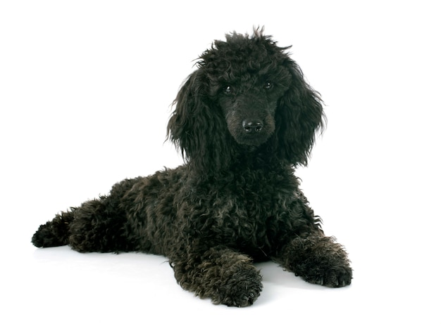 Filhote de cachorro poodle