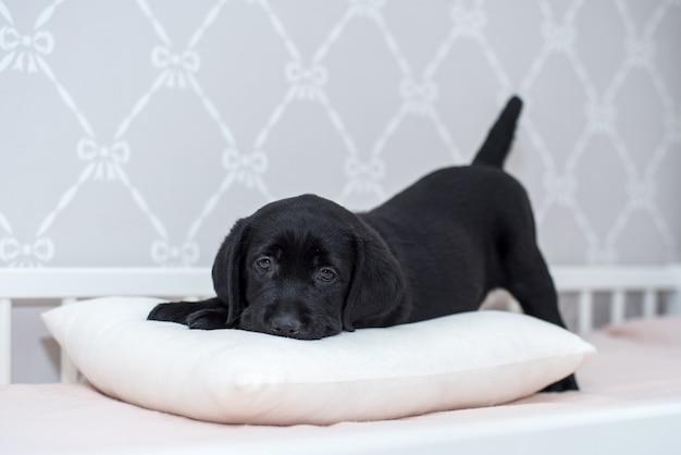 Filhote de cachorro preto labrador brincando na cama.