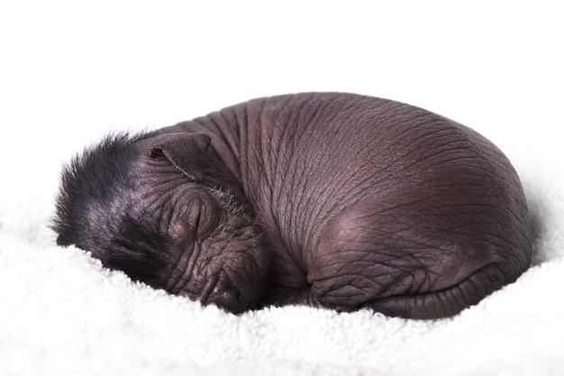 Filhote de cachorro recém-nascido cão pelado mexicano dormindo. sobre um fundo branco.