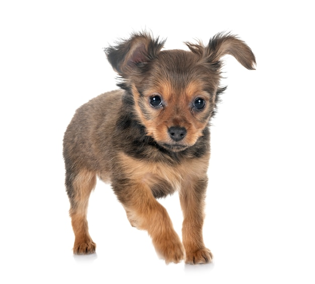 Filhote de cachorro russkiy toy