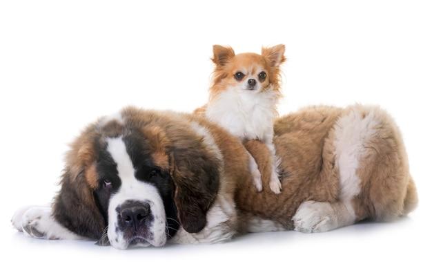 Filhote de cachorro saint bernard e chihuahua