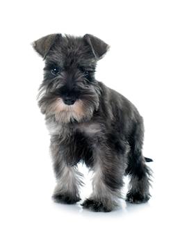 Filhote de cachorro schnauzer miniatura