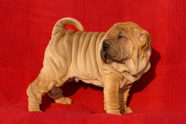 Filhote de cachorro shar pei