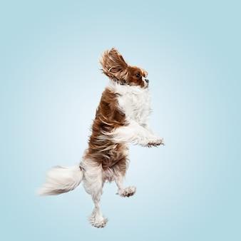 Filhote de cachorro spaniel brincando no estúdio. cachorrinho fofo ou animal de estimação está pulando isolado sobre fundo azul. o cavalier king charles. espaço negativo para inserir seu texto ou imagem. conceito de movimento, direitos dos animais.