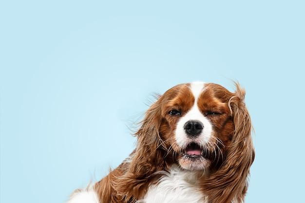 Filhote de cachorro spaniel brincando no estúdio. cachorrinho fofo ou animal de estimação está sentado isolado sobre fundo azul. o cavalier king charles. espaço negativo para inserir seu texto ou imagem. conceito de movimento, direitos dos animais.
