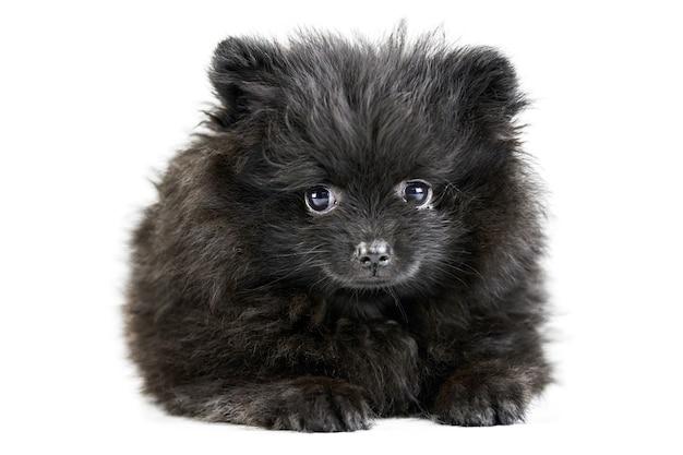 Filhote de cachorro spitz da pomerânia, isolado. pomerânia preta fofa, fundo branco