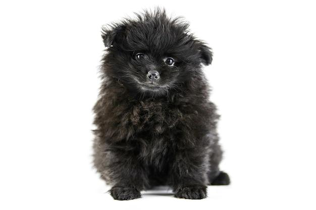 Filhote de cachorro spitz da pomerânia, isolado. pomerânia preta fofa