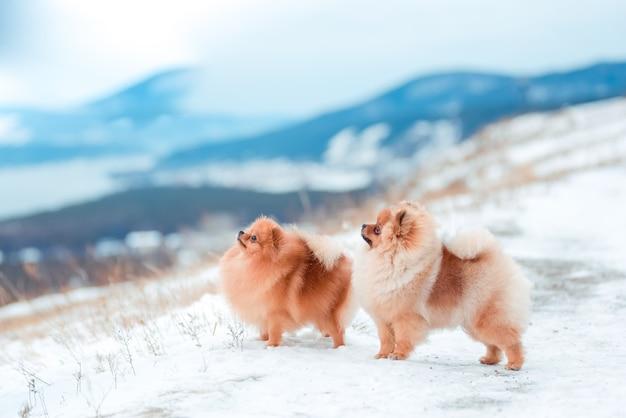 Filhote de cachorro spitz nas montanhas no inverno