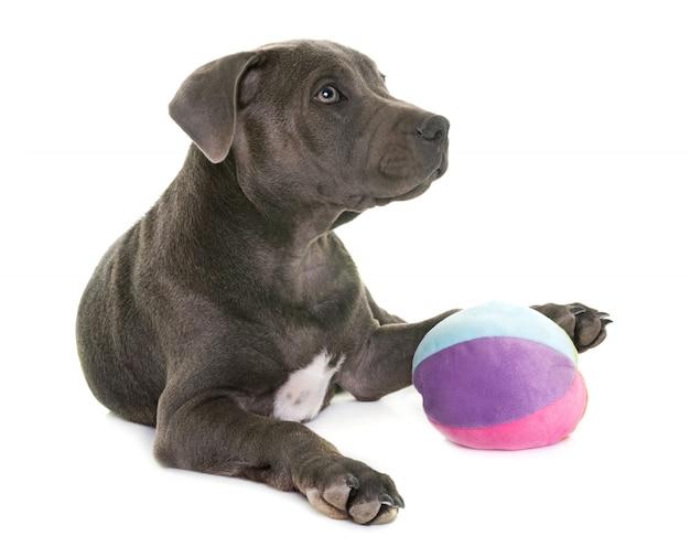 Filhote de cachorro staffordshire bull terrier