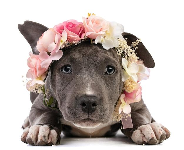 Filhote de cachorro staffordshire terrier americano com uma coroa de flores