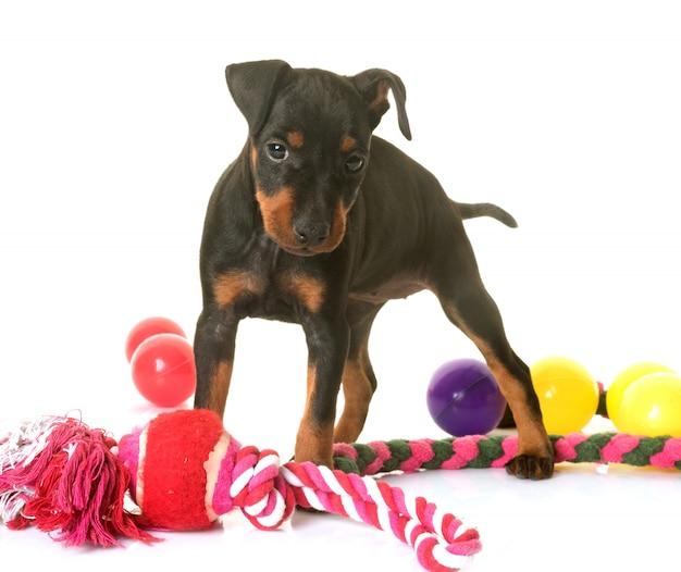 Filhote de cachorro terrier de manchester