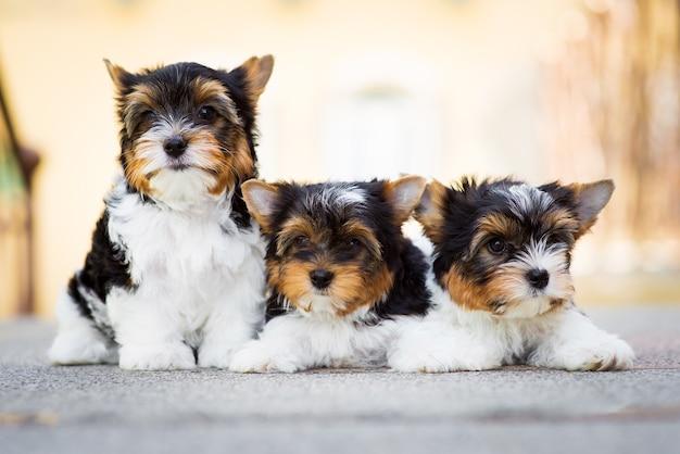 Filhote de cachorro três yorkshire terrier no chão