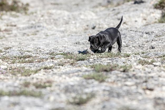 Filhote de cachorro valentão negro com uma mancha branca andando do lado de fora