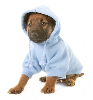 Filhote de cachorro vestido de cão pastor belga laekenois