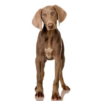Filhote de cachorro weimaraner. retrato de cachorro isolado