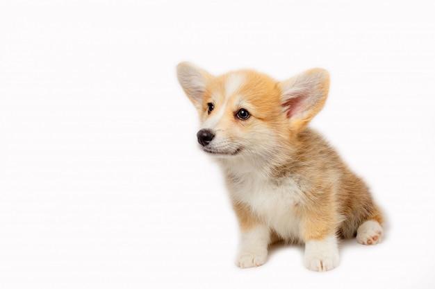 Filhote de cachorro welsh corgi pembrok isolado