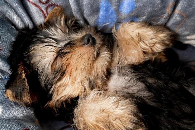 Filhote de cachorro yorkshire terrier fofo dormindo em sua cama