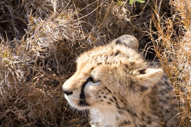 Filhote de chita. parque nacional do serengeti, na tanzânia. vida selvagem africana