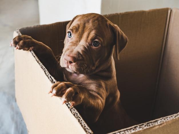 Filhote de cor chocolate em uma caixa