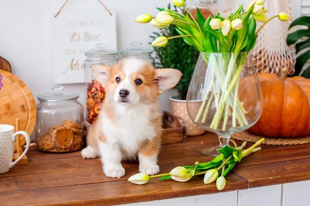 Filhote de corgi está na mesa com flores de tulipa