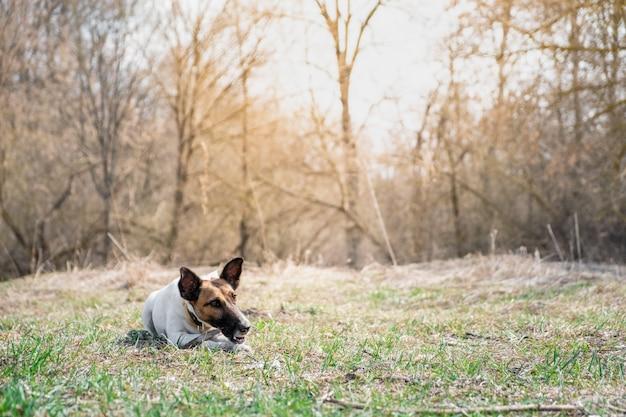 Filhote de fox terrier mastigando uma vara em um parque.