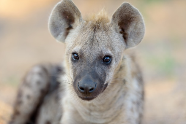 Filhote de hiena no deserto