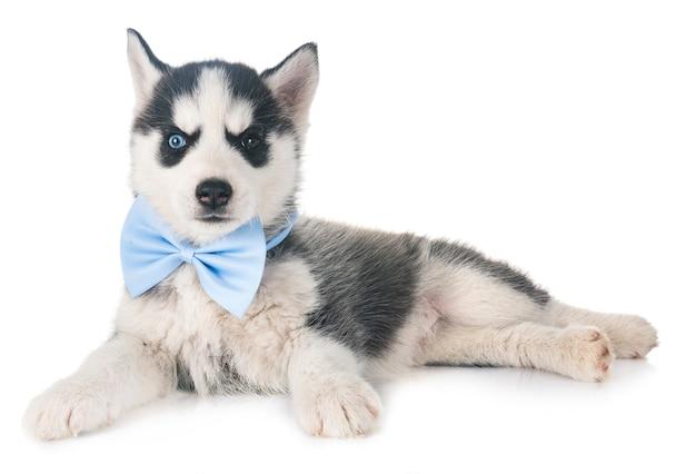 Filhote de husky siberiano