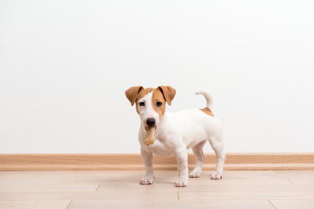 Filhote de jack russell terrier