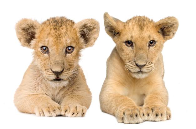 Filhote de leão (4 meses) na frente em um branco isolado Foto Premium