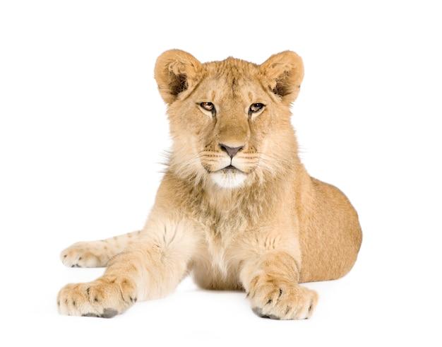 Filhote de leão (8 meses) isolado
