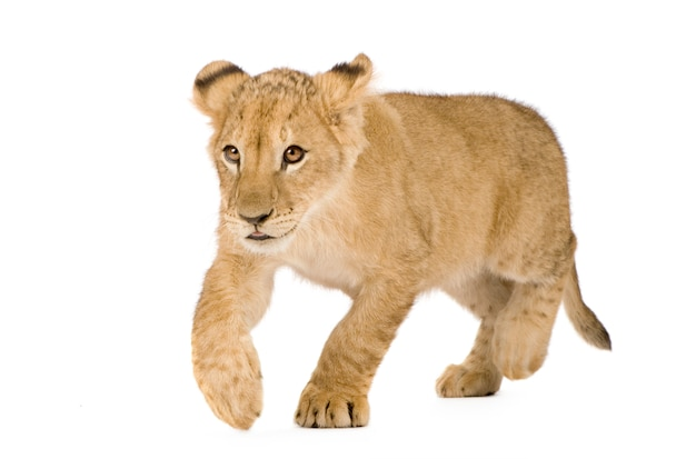 Filhote de leão em um branco isolado