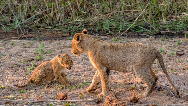 Filhote de leão jovem rosnando para um filhote de leão mais velho