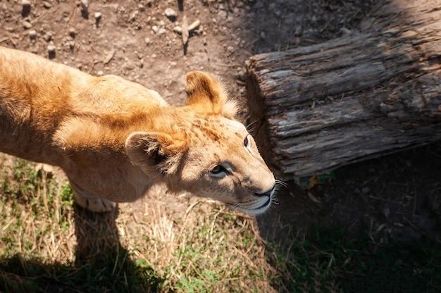 Filhote de leão jovem selvagem