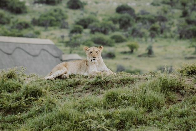 Filhote de leão na colina, deitado no chão e olhando para a câmera