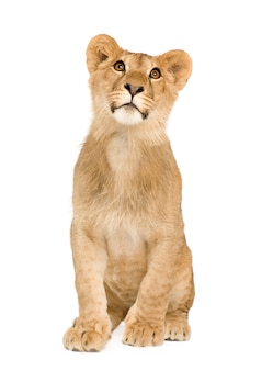 Filhote de leão na frente em um branco isolado