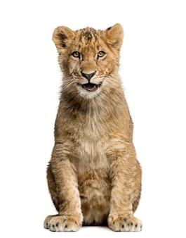Filhote de leão sentado, sorrindo e olhando para a câmera