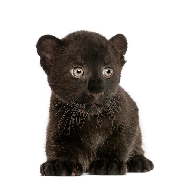 Filhote de leopardo preto ajoelhado isolado no branco